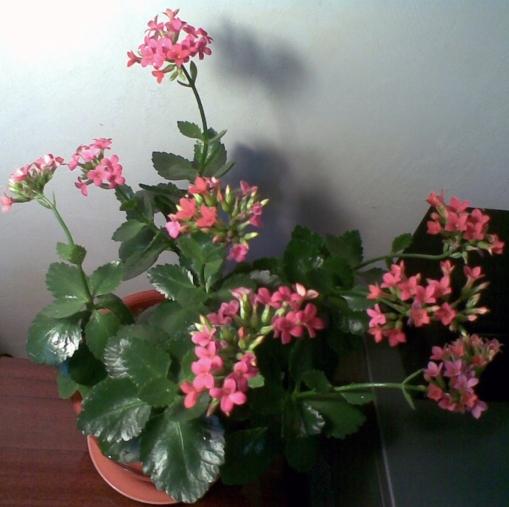 Плетущиеся комнатные растения фото