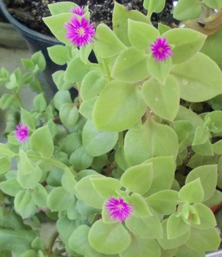 Растение с мелкими фиолетовыми цветами